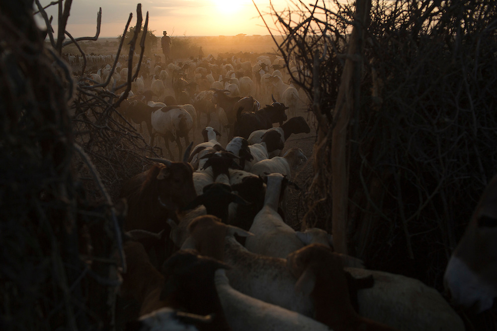 Sheeps and goats are taken to graze at the start of the morning in Turkana, northern Kenya.