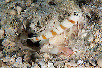 Shrimp and Goby Pair.  <br /> <br /> The blind shrimp keeps the burrow clean, while the goby protects the pair--a perfect symbiotic arrangement.<br /> <br /> Shot in Indonesia