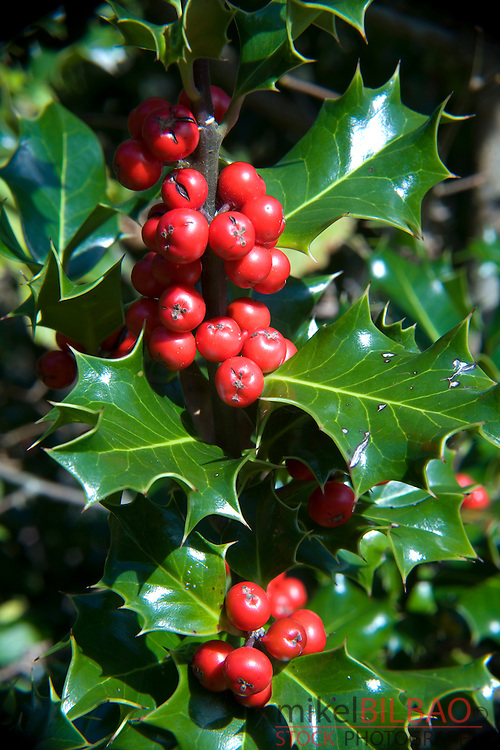 Holly, or European Holly (Ilex aquifolium) with red fruits.<br />