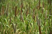 Pearl Millet<br /> Uttar Pradesh, India
