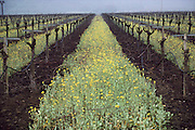 Napa Valley, California. Mustard grows in the early spring between the rows of vines as a ground covering for erosion control.