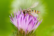 A marmalade hoverfly collecting nectar from the flower of the meadow thistle, seen from the side.