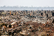 A worker walks through what used to be rainforest in Riau in Sumatra. The forest was illegally cut down and sold as wood pulp, and the peatland likely replanted as a palm oil plantation.  The pulp and paper industry is one of the driving forces behind deforestation, along with acacia and oil palm plantations. The region is also a rich source for coal, and Indonesia is projected to export 300 million tonnes in 2015. The slash and burn together with the logging has made Indonesia the third worst emitter of greenhouse gases, after China and USA. The rain forest in Borneo and Sumatra, once a vital carbon sink, will largely dissappear within twenty years if today's pace continues. According to a Greenpeace study from 2011, up to 88 percent of the logging activities are illegal.<br /> Borneo and Sumatra are the habitats for the critically endangered Sumatra tiger (fewer than 400) and the Sumatra elephants (2400-2800), along with orangutans and Sumatra rhinos. These animals are likely to go extinct as the rainforest is wiped out.