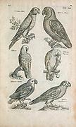 Parrots 17th-century artwork. This artwork is from 'Historiae naturalis de quadrupetibus' (1657) by Polish scholar and physician John Jonston (1603-1675).