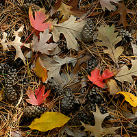 Vibrant maple leaves mingle with oak and elm leaves amid the pine cones and needles of the forest floor.
