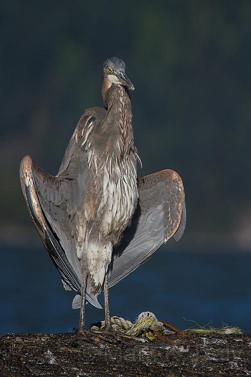 Great Blue Heron - sunning (flasher) pose