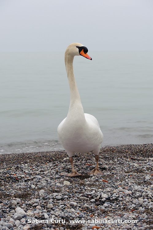 Mute Swan on Lake Ontario shore, Humber Bay Park Toronto