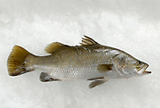 Fresh whole European seabass, (Dicentrarchus labrax), on ice
