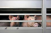 Nederland, Ubbergen, 21-10-2009Langs een doodlopende weg staat een aanhanger met varkens geparkeerd. Hij lijkt achtergelaten te zijn door een transporteur met de afspraak dat hij later verder vervoerd zal worden naar zijn eindbestemming.Foto: Flip Franssen/Hollandse Hoogte