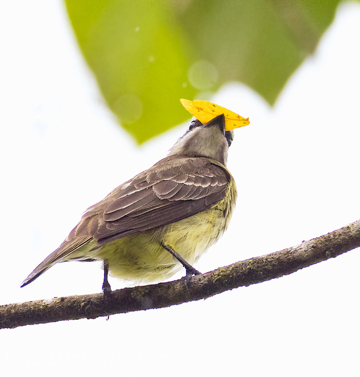 Yellow-bellied Elaenia on branch with nesting material in bill in Costa Rica.