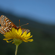 Quino checkerspot butterfly (Euphydryas editha quino); Endangered; San Diego National Wildlife Refuge; © Michael Ready / USFWS