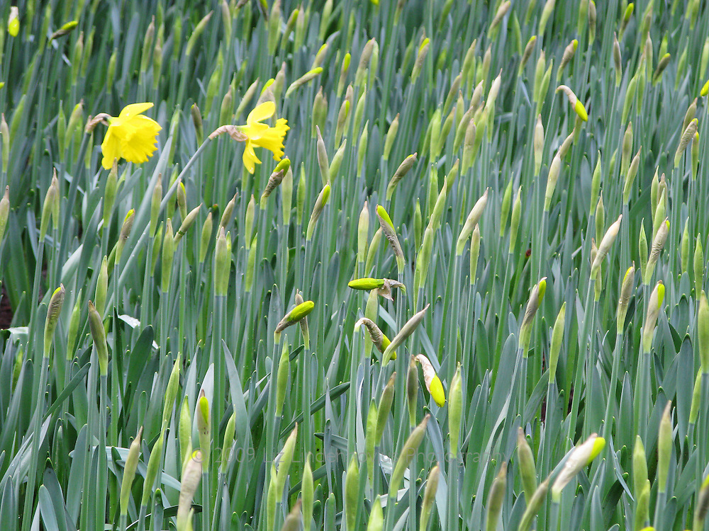 Daffodil at Keukenhof, Holland