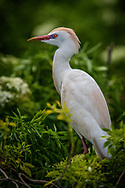 The Cattle Egret (Bubulcus ibis) is a cosmopolitan species of heron (family Ardeidae) found in the tropics, subtropics and warm temperate zones.