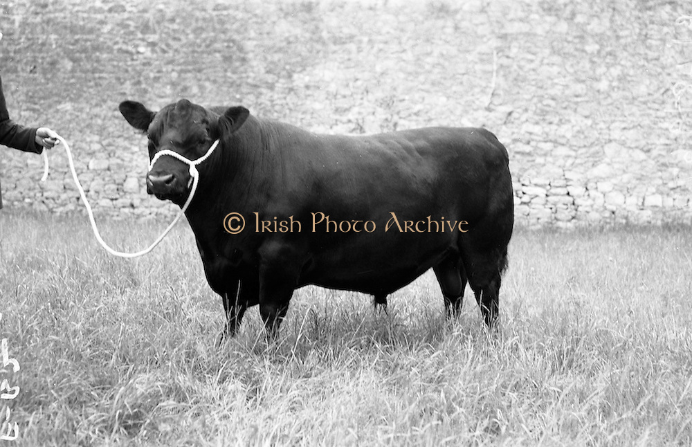 """13/08/1959<br /> 08/13/1959<br /> 13 August 1959<br /> Pedigree Bulls and Heifers for Coras Trachtala. Aberdeen Angus bull """"Eradicate of Gloagburn"""" owned by Mr. Conor Corrigan, Clonacody, Clonmel, Co. Tipperary."""