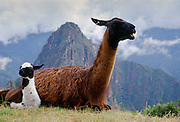 Llama dam & her cria by Machu Picchu ruins of Inca citadel in Peru, South America