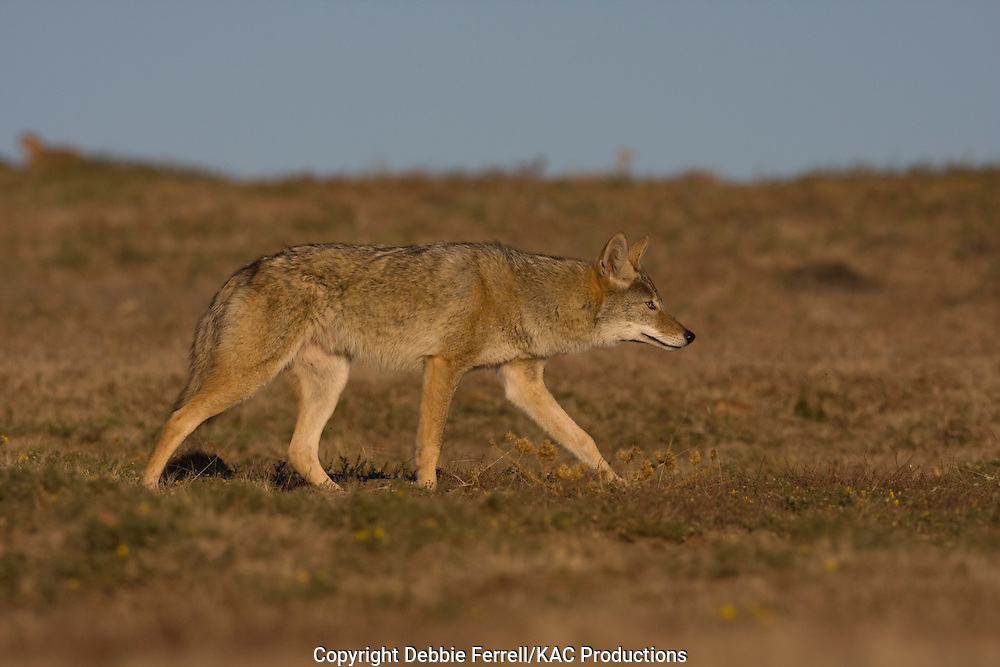 coyote with clear blue sky background walking