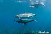 Hawaiian spinner dolphins or Gray's spinner dolphin, Stenella longirostris longirostris, courtship, female ( upside-down ) solicits male, touching pectoral fins, Kona, Hawaii ( the Big Island ), USA ( Central Pacific Ocean )