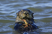 Southern Sea Otter<br /> Enhydra lutris<br /> Feeding on crab<br /> Monterey Bay,  CA, USA