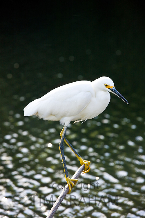 Yellow-footed Snowy Egret, Egretta Thula, in glade in the Florida Everglades, United States of America