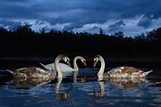 Family of mute swan (Cygnus olor) feeding at twilight. Lower Silesia. Poland.