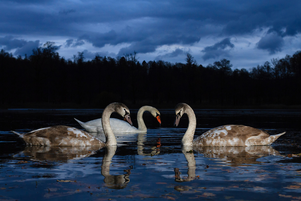 Family of mute swan (Cygnus olor) feeding at twilight. Lower Silesia. Poland.