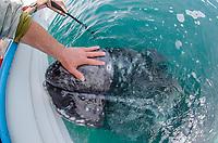 Gray whales in Laguna San Ignacio in Baja California Sur, Mexico.