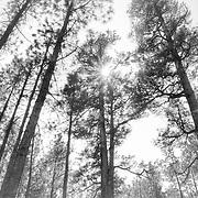 Towering trees in Northern Arizona