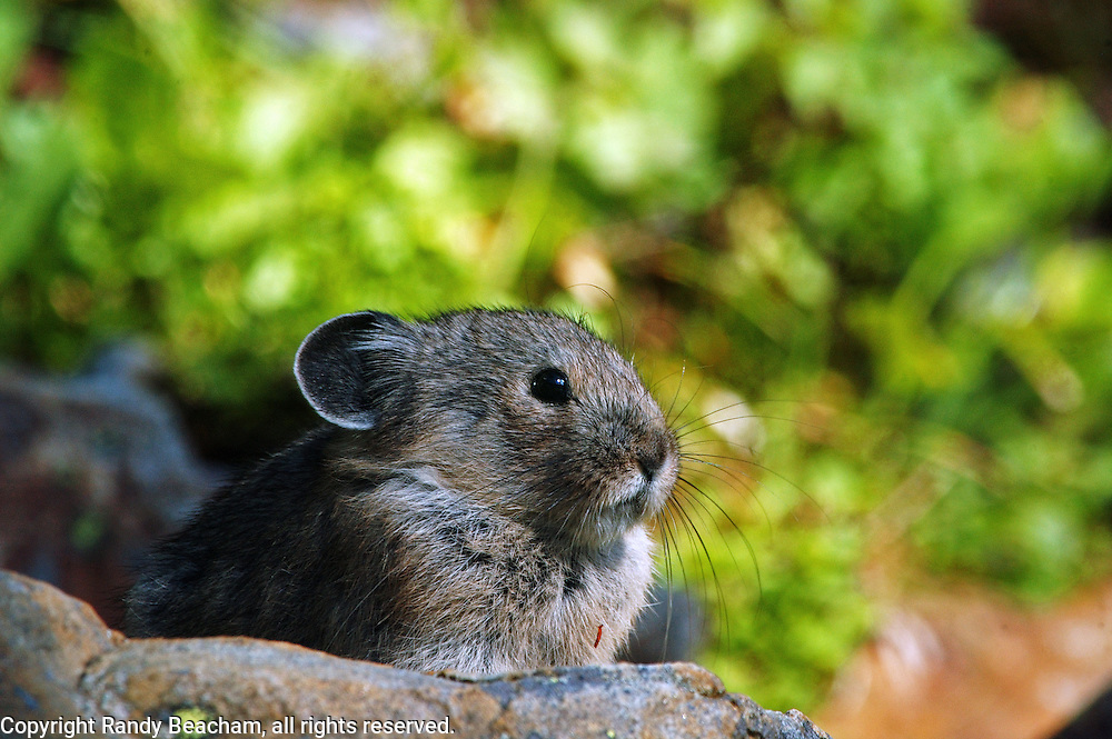 Rock pika. Northwest Peak Scenic Area in the Purcell Mountains, Montana