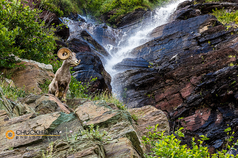 Bighorn sheep ram along waterfall in the Many Glacier Valley of Glacier National Park, Montana, USA