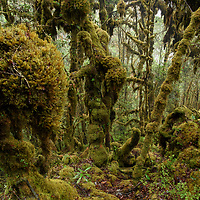At nearly 3000m elevation, this cold and wet montane cloud forest is completely draped with thick mosses. South Sulawesi, Indonesia.