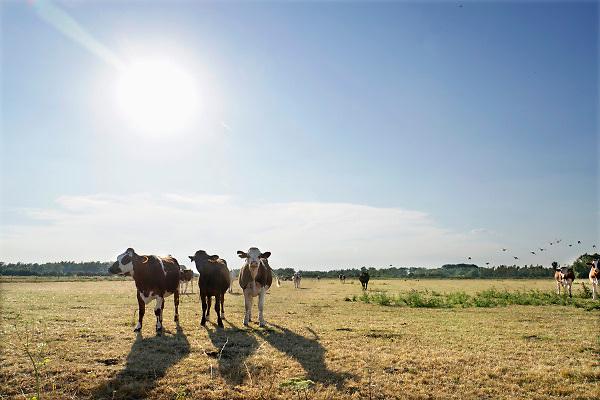 Nederland, Leuth, 25-7-2018 Koeien die buiten in de wei staan krijgen extra hooi, worden bijgevoerd, omdat het gras niet meer groeit en door de droogte vergeeld en dood is . Door de aanhoudende droogte en hitte, warme weer, hittegolf, hebben mens en dier het moeilijk .Foto: Flip Franssen