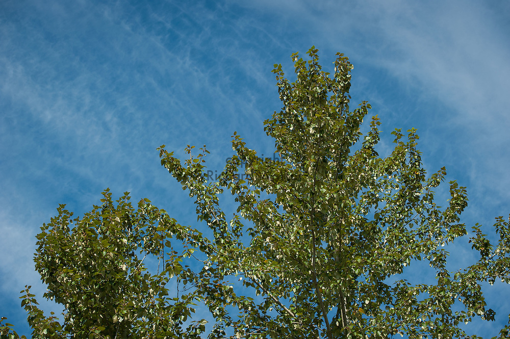 2016 September 29 - Tree with leaves against a lightly cloudy blue sky. Puyallup, WA, USA. By Richard Walker