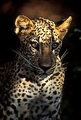 Sri Lanka - Leopard