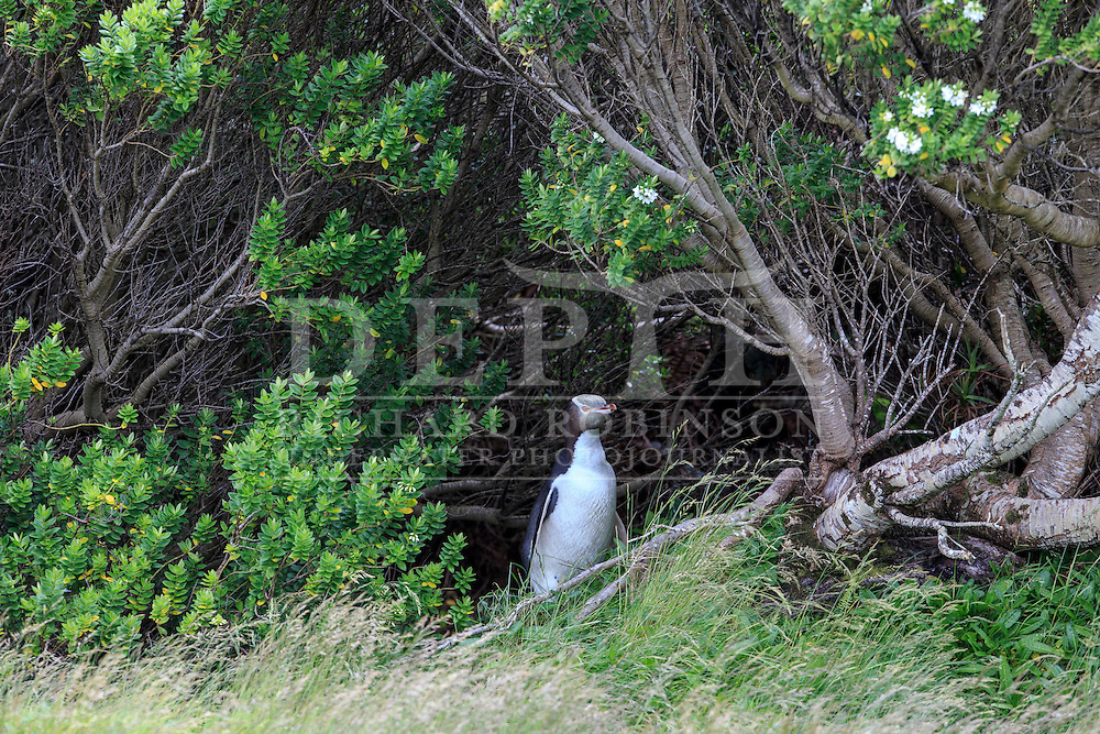 Megadyptes antipodes (Yellow eyed penguin) under vegetative cover at Sandy Bay, Enderby Island, Auckland Islands, New Zealand.<br /> 05 January 2016<br /> Photograph Richard Robinson &copy; 2016