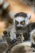 Ring-tailed Lemur<br /> Lemur catta<br /> 1-2 week old baby resting hand in mother's palm<br /> Berenty Private Reserve, Madagascar