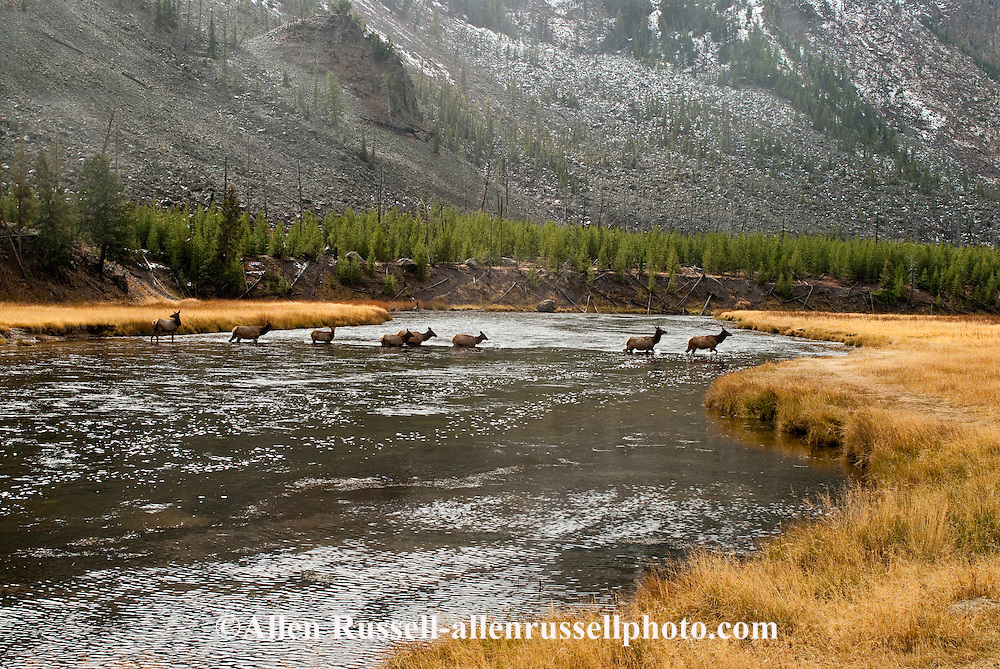 Cow Elk (Cervus canadensis) cross Madison River, Yellowstone National Park