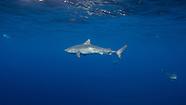Galeocerdo cuvier (Tiger Shark)