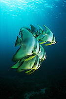 Raja Ampat Indonesia Pacific Ocean juvenile batfish (Platax teira) swimming under surface of ocean