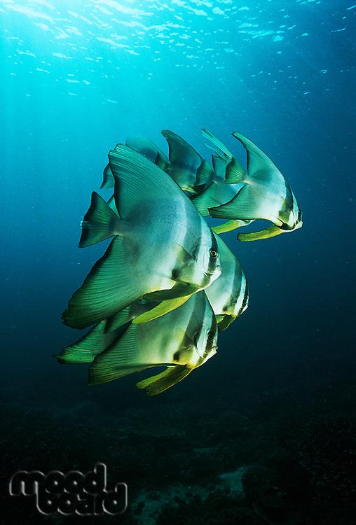Raja Ampat Indonesia Pacific Ocean juvenile batfish (Platax teira) swimming under surface of ocean