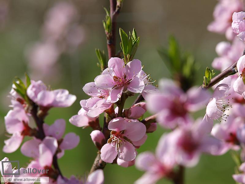 Peach trees in blossom, Austria, Lower Austria, Wachau