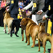 February 16, 2016 - New York, NY : Dogs and handlers line up for judging as they compete in the working group final during the  140th Annual Westminster Kennel Club Dog Show at Madison Square Garden in Manhattan on Tuesday evening, February 16, 2016. CREDIT: Karsten Moran for The New York Times