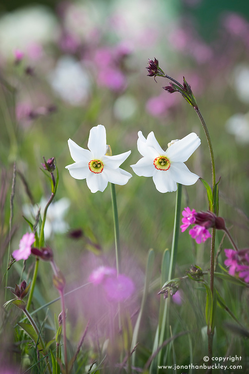 Narcissus poeticus var. recurvus AGM (Old pheasant's eye) with Red campion (Silene dioica) in the wildflower meadow