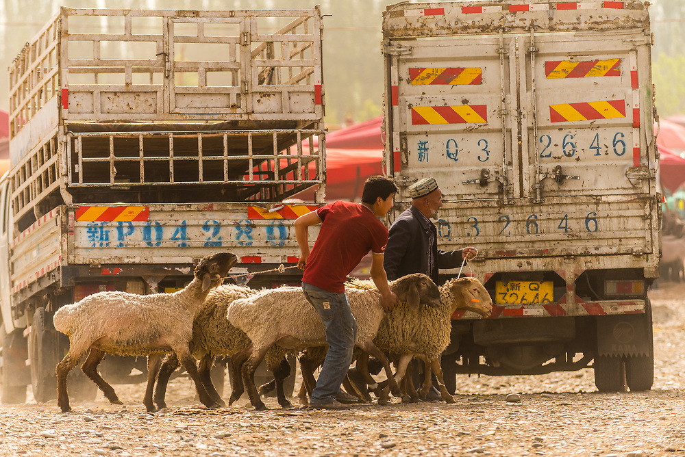 Goats being traded at the Sunday Livestock market just outside Kashgar (China's westernmost city), Xinjiang Province, China. Kashgar is along the Silk Road, near Tajikistan and Pakistan.