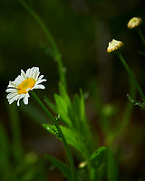 Daisy. Image taken with a Nikon D850 camera and 70-300 mm VR lens.