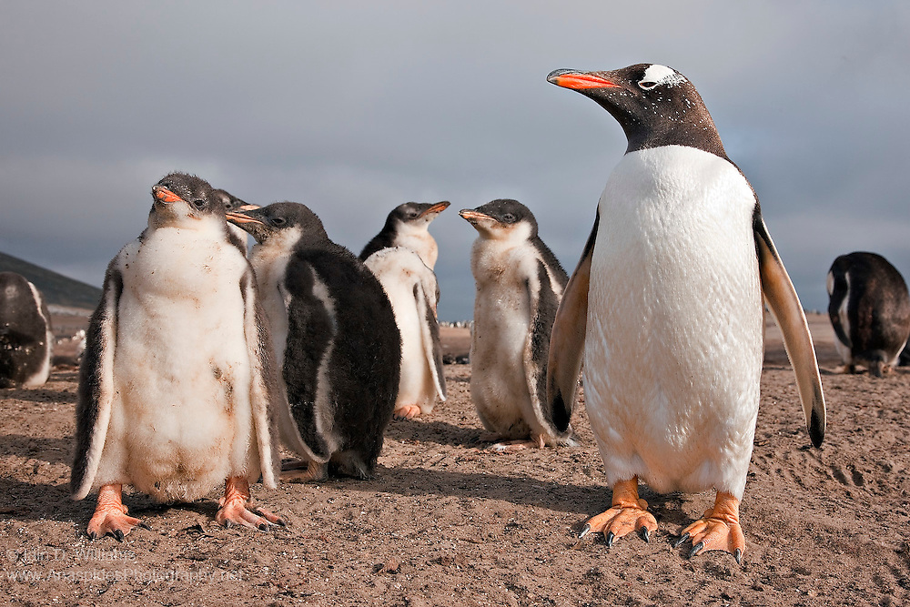 Female Gentoo Penguin (Pygoscelis papua) keeps a watchful eye on her offspring in the Falkland Islands