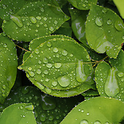 """""""Green Leaves in Rain"""" <br /> <br /> Beautiful lush green leaves with rain drops from a spring rain!"""