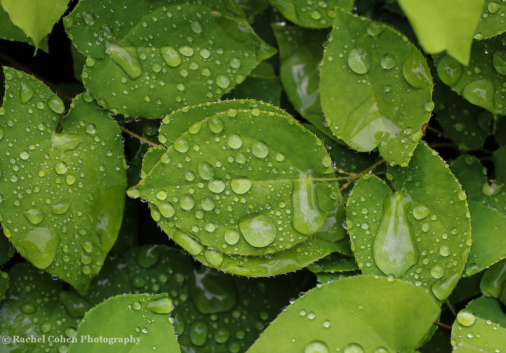 &quot;Green Leaves in Rain&quot; <br />