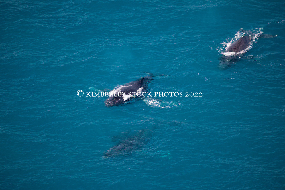 Three adult humpback whales and a calf swim near Talboy's Rock north of Broome.