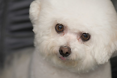 Faith - Bichon Frise
