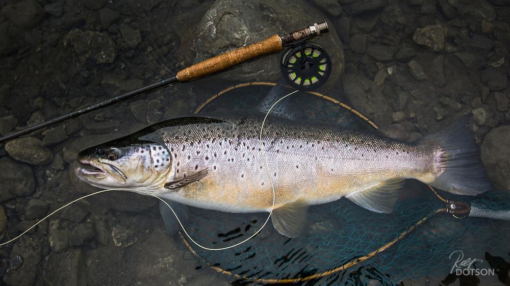 8.5lb New Zealand Brown, Hope River 2014